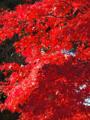 皇居乾通り一般公開の紅葉風景-15-14.12
