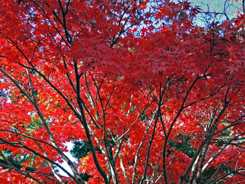 皇居乾通り一般公開の紅葉風景-14-14.12