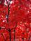 皇居乾通り一般公開の紅葉風景-13-14.12