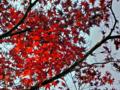 皇居乾通り一般公開の紅葉風景-11-14.12
