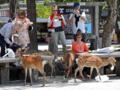 宮島の鹿(廿日市市)-5-15.05