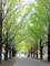 いちょう並木(光が丘公園)-1-15.10