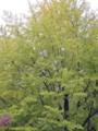 いちょう並木(光が丘公園)-3-15.10