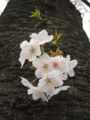 恩田川の桜(町田)-2-16.04