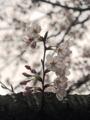 恩田川の桜(町田)-3-16.04