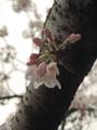 恩田川の桜(町田)-5-16.04