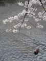 恩田川の桜(町田)-7-16.04