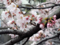 恩田川の桜(町田)-8-16.04