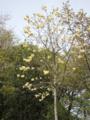 黄モクレン(横浜市)-1-16.05