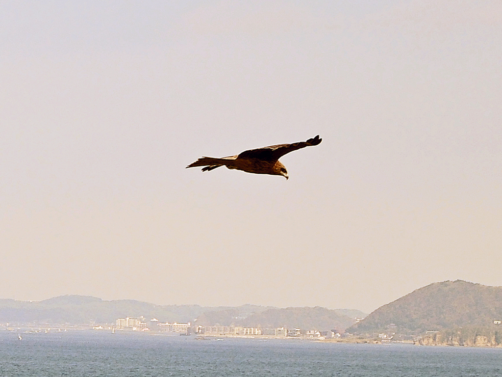 トンビ(三浦半島)-1-16.05