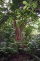亜熱帯植物(石垣島・米原)-1-16.06