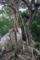 西表島サキシマスオウノキ-1-16.06