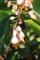 波照間島・月桃の花-1-16.06