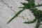 グンバイヒルガオ(波照間島)-1-16.06