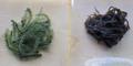 海ぶどう(左)とオキナワモズク(右)-1-16.06