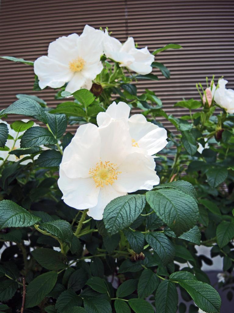 ハマナス(札幌)-1-16.04