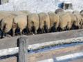 羊牧場ゴーシュ(上士幌町)-1-16.11