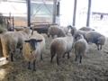 羊牧場ゴーシュ(上士幌町)-3-16.11