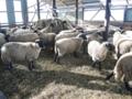 羊牧場ゴーシュ(上士幌町)-4-16.11