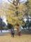 上野公園のイチョウ(台東区)-2-16.12