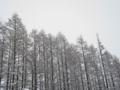 雪の防風林(上士幌町)-1-16.11