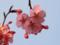 桜(墨堤)-1-2017.04