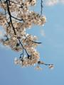 芹ヶ谷公園の桜(町田市)-1-17.03