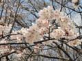 芹ヶ谷公園の桜(町田市)-2-17.03