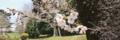芹ヶ谷公園の桜(町田市)-3-17.03