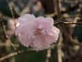 芹ヶ谷公園のハナモモ(町田市)-1-17.03
