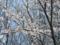 恩田川の桜(町田市)-1-17.03