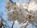恩田川の桜(町田市)-2-17.03
