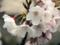 恩田川の桜(町田市)-3-17.03