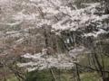 恩田川の桜(町田市)-4-17.03