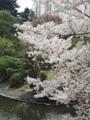 新宿御苑の桜(新宿区)-2-17.03