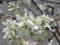 ジューンベリーの花-1-17.05