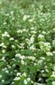 ソバの花(福島県三島町)-1-17.05