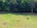 馬の放牧(飯舘村)-1-17.05
