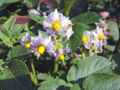 ジャガイモの花(わが家)-1-17.08
