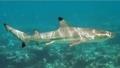 ツマグロザメ