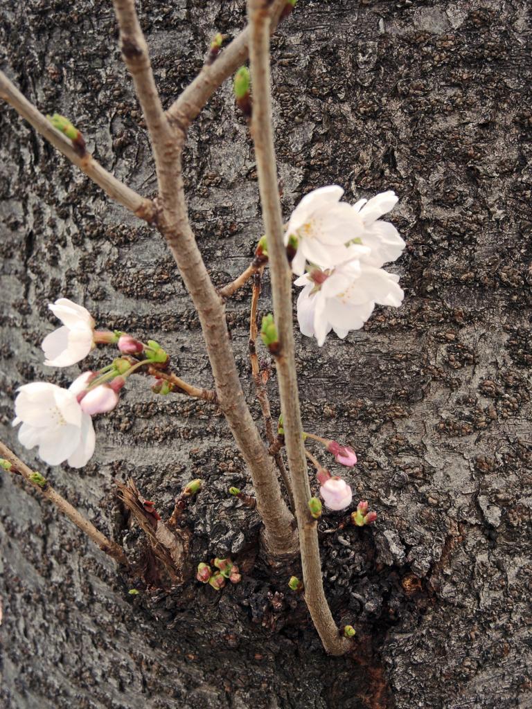 恩田川の桜(町田)-4-18.03