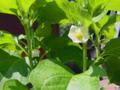 ホオズキの花(わが家)-2-18.05