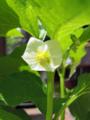 ホオズキの花(わが家)-1-18.05