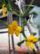 キュウリの花(わが家)-1-18.05