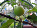 柿の実(わが家)-1-18.05