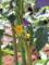 キュウリの花-1-18.05