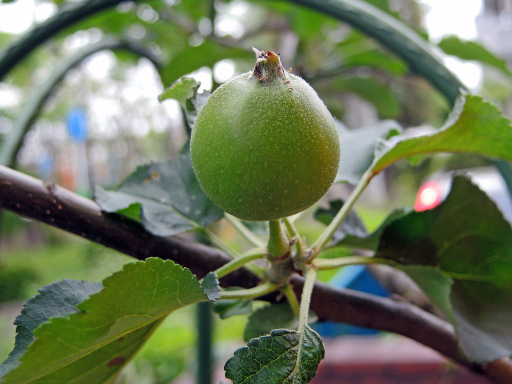 柿に木にリンゴ(わが家)-3-18.10