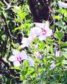 ムクゲ(福島市花見山)-1-18.07