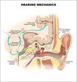 聴覚系(解剖図)