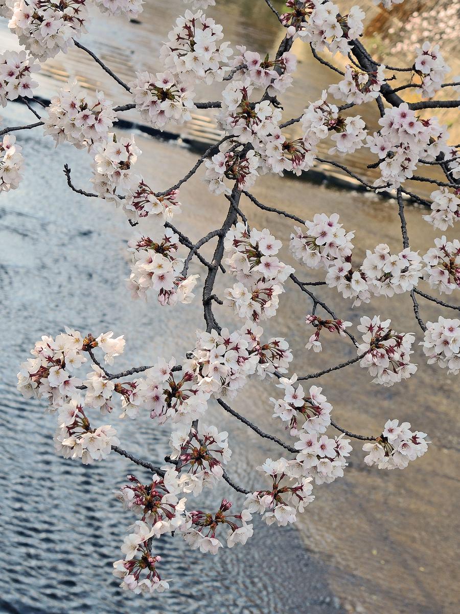恩田川の桜(町田市)-1-19.04